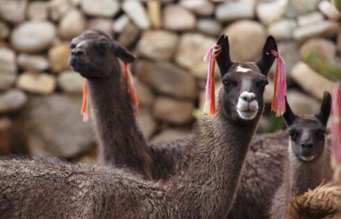 la-oroya-camelidos
