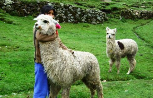 la_alpaca_como_primera_actividad_de_sacsamarca