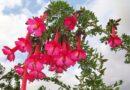 EL QANTU: La Flor de los Incas